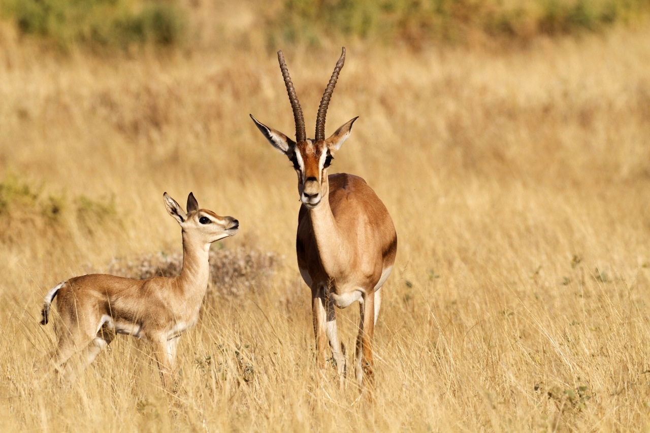 Grant's Gazelle female and juvenile.