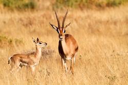 Grant's Gazelle female and juvenile.