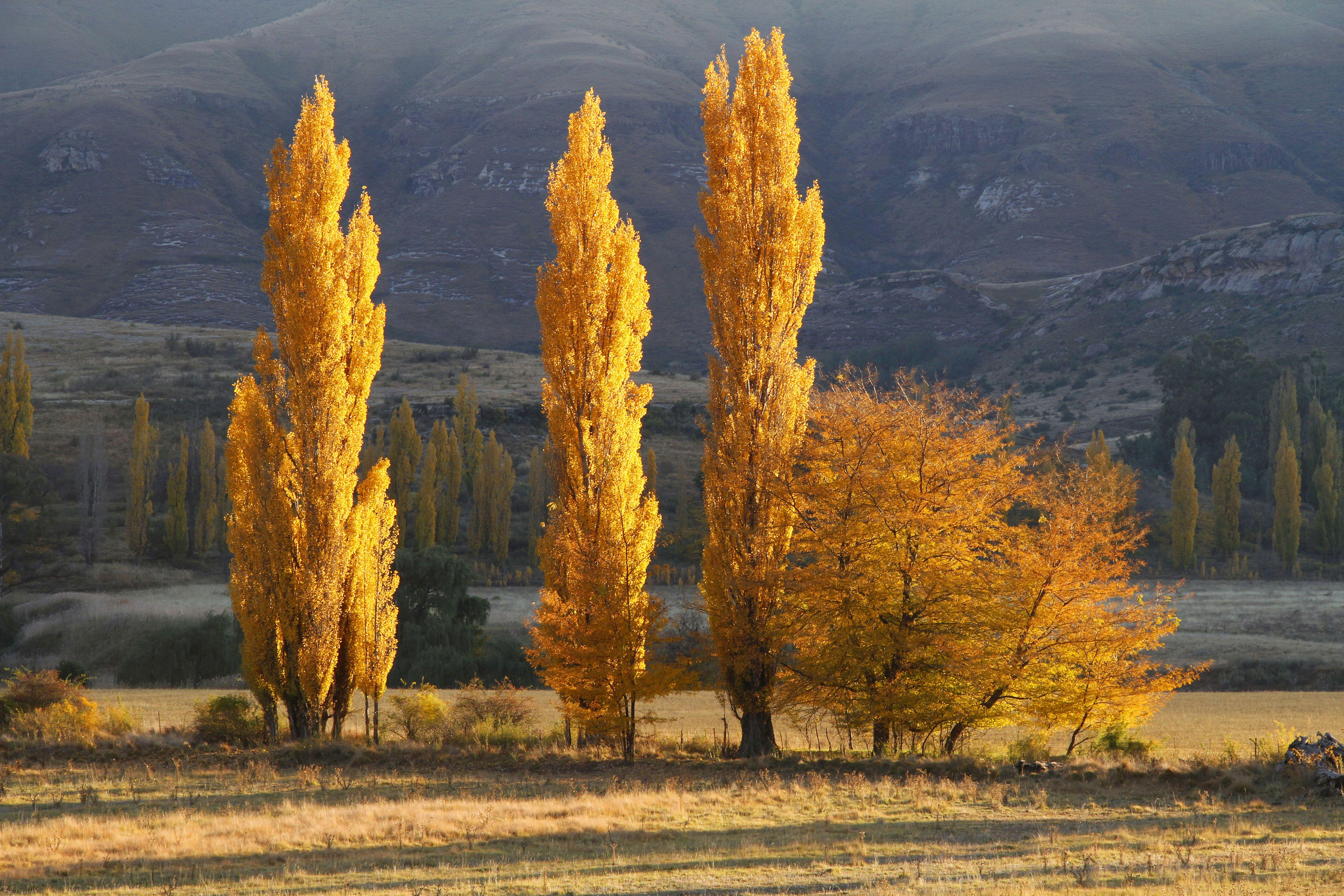 Golden Poplars, Clarens.