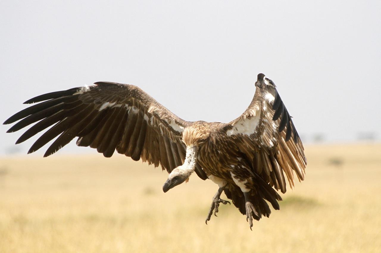 White-backed Vulture landing.