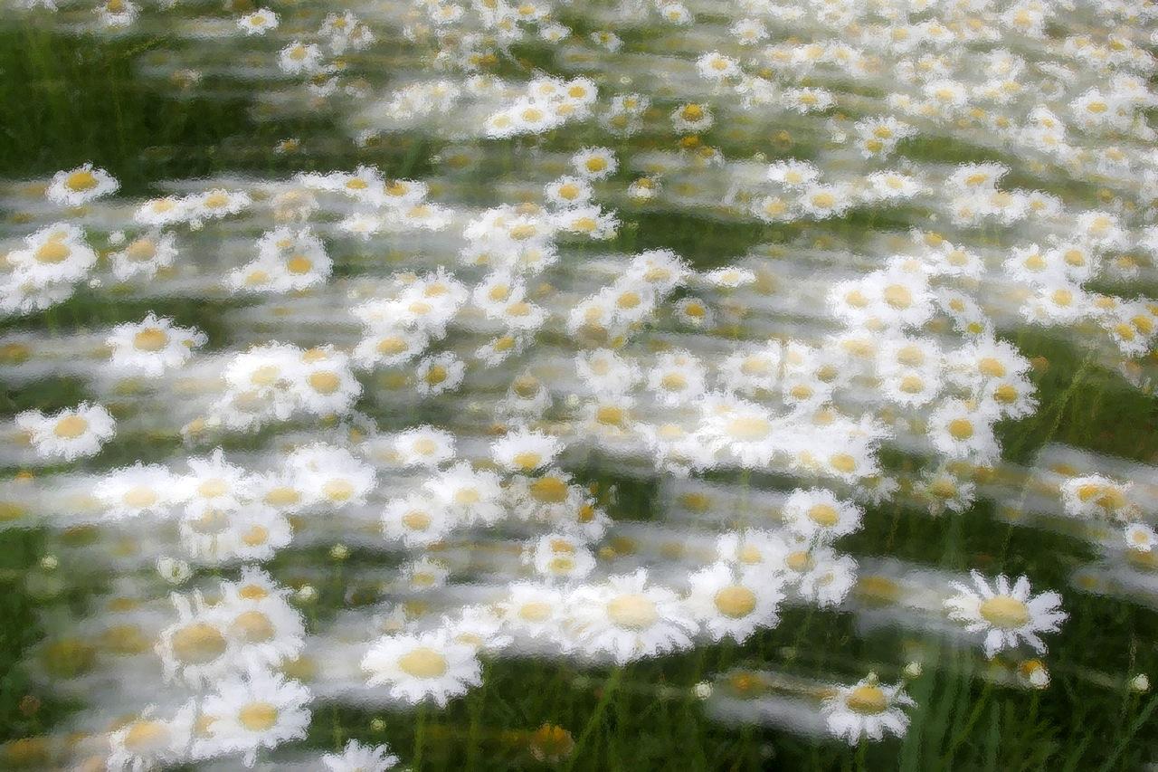 Daisy Blur.
