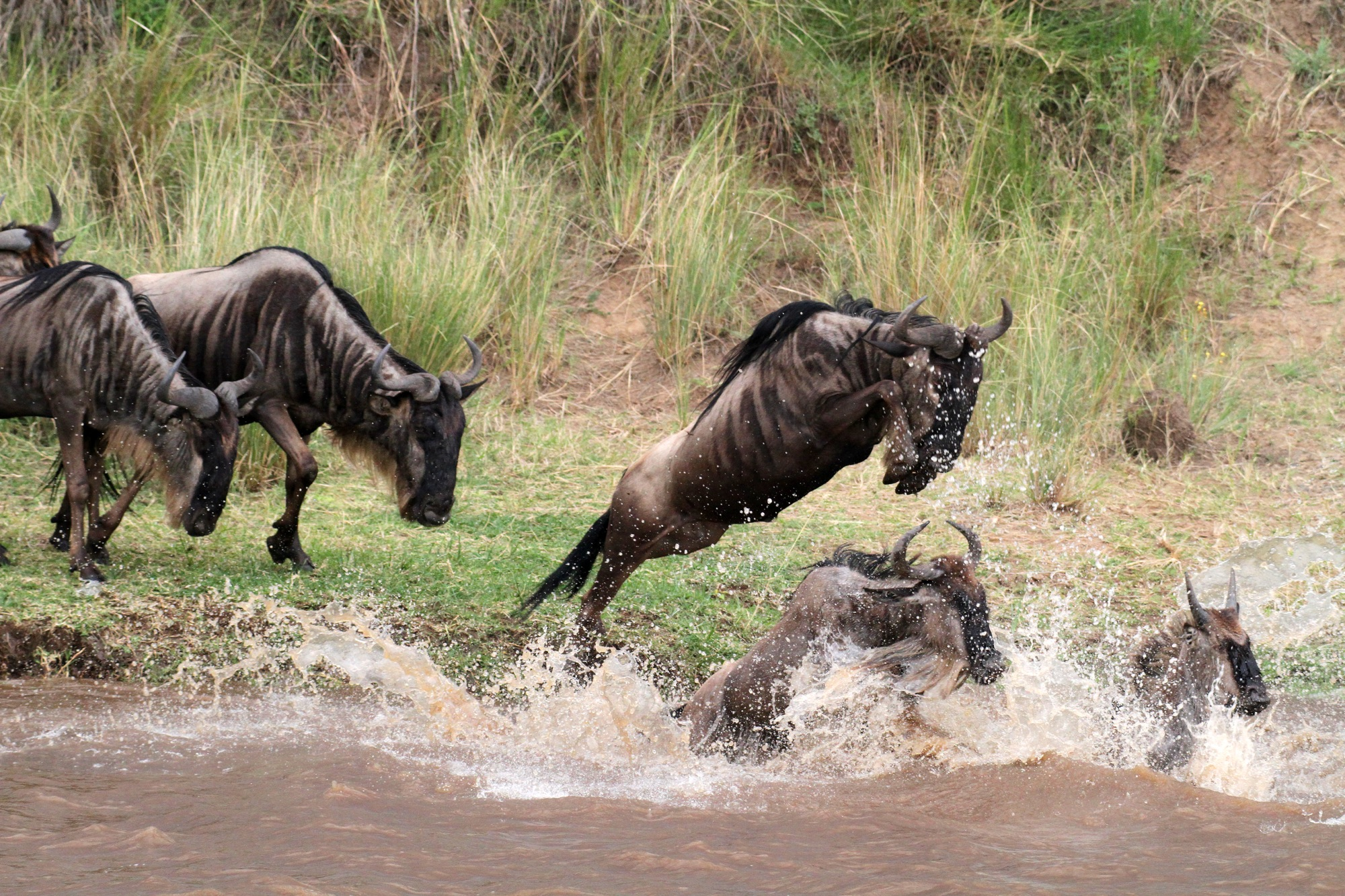 Widerbeest splash.