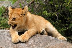 Lion Cub snarling.