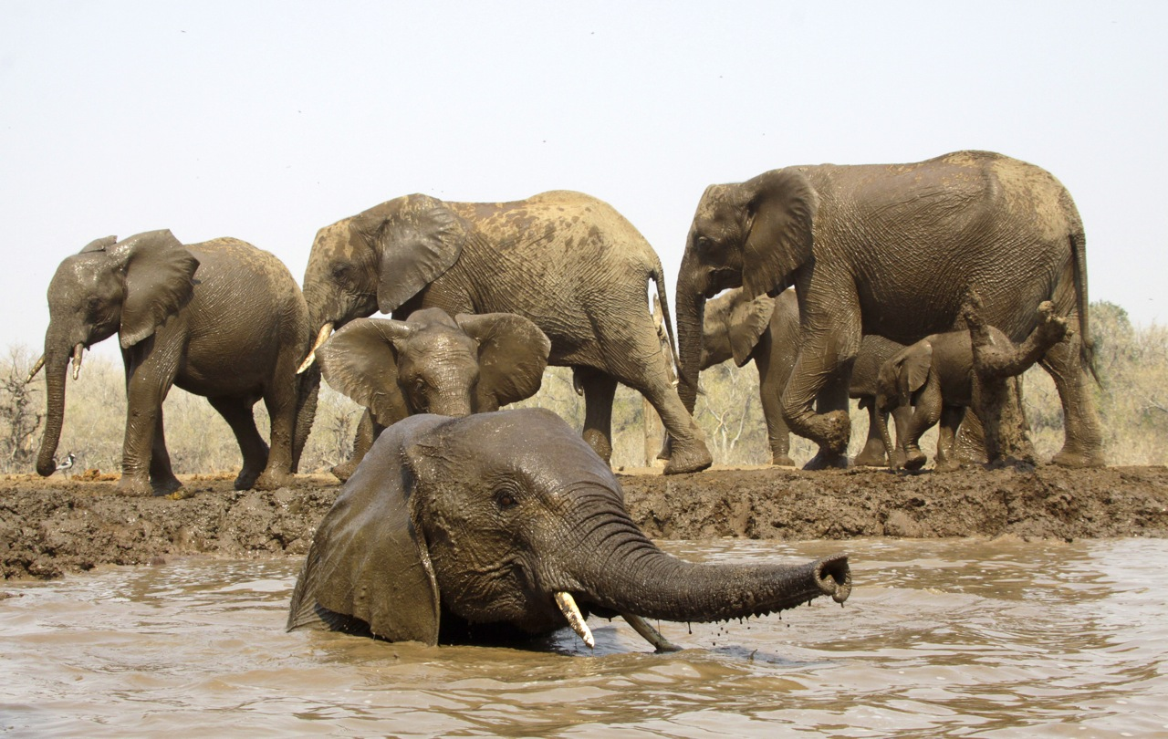 Elephant bathing.