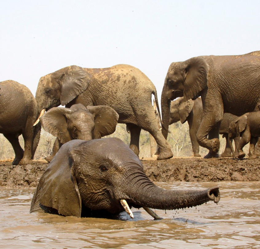 Bathing elephants