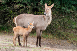 Waterbuck cow and calf.
