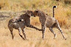 Playful Cheetah.