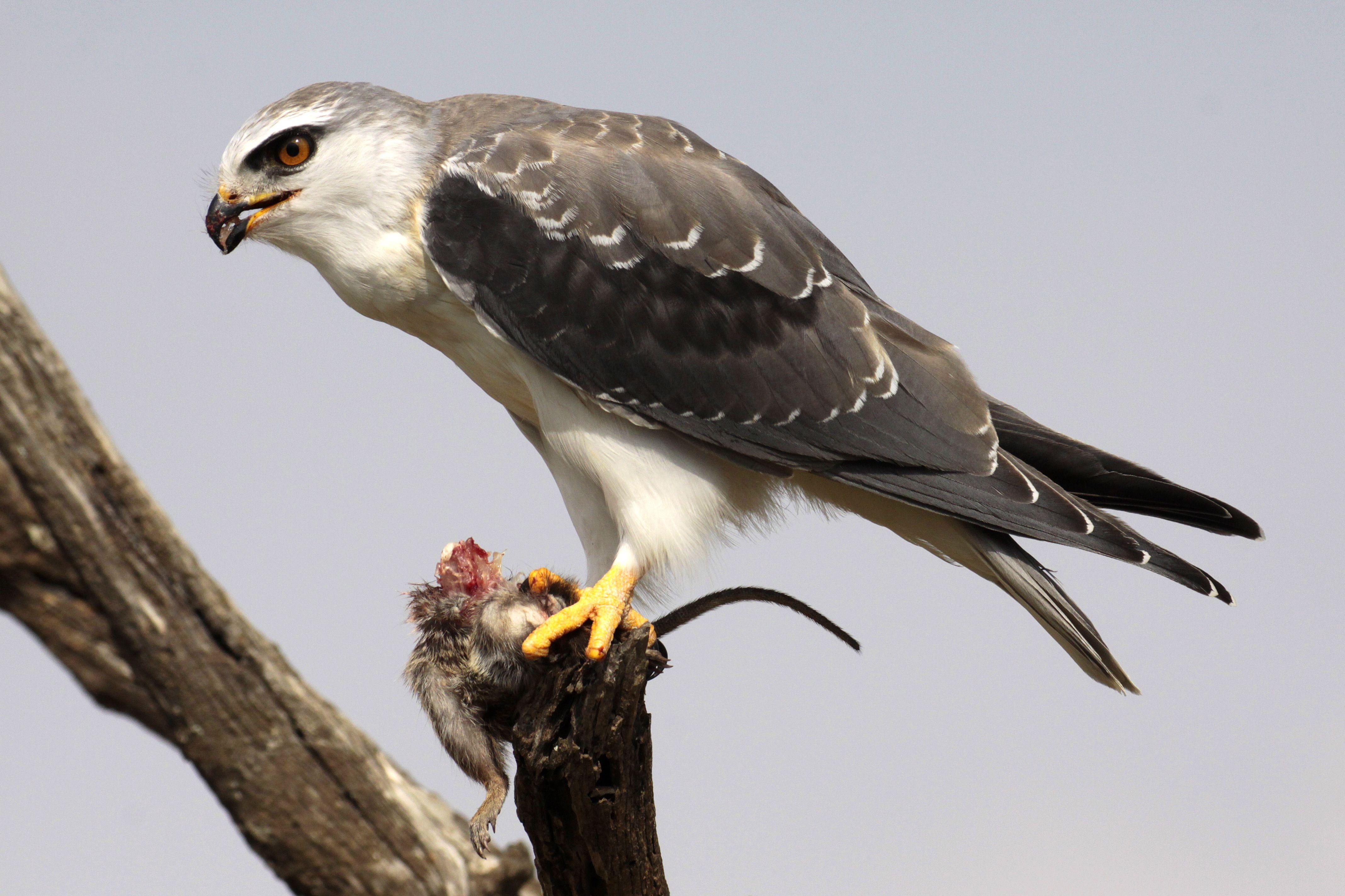 Black-Shouldered Kite and Rat Prey.