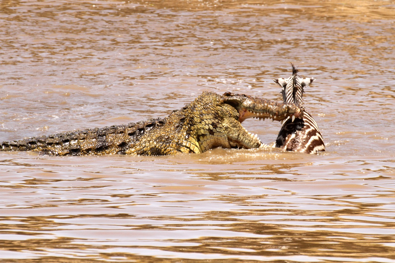 Crocodile and Zebra prey.