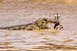 Crocodile and Zebra prey.