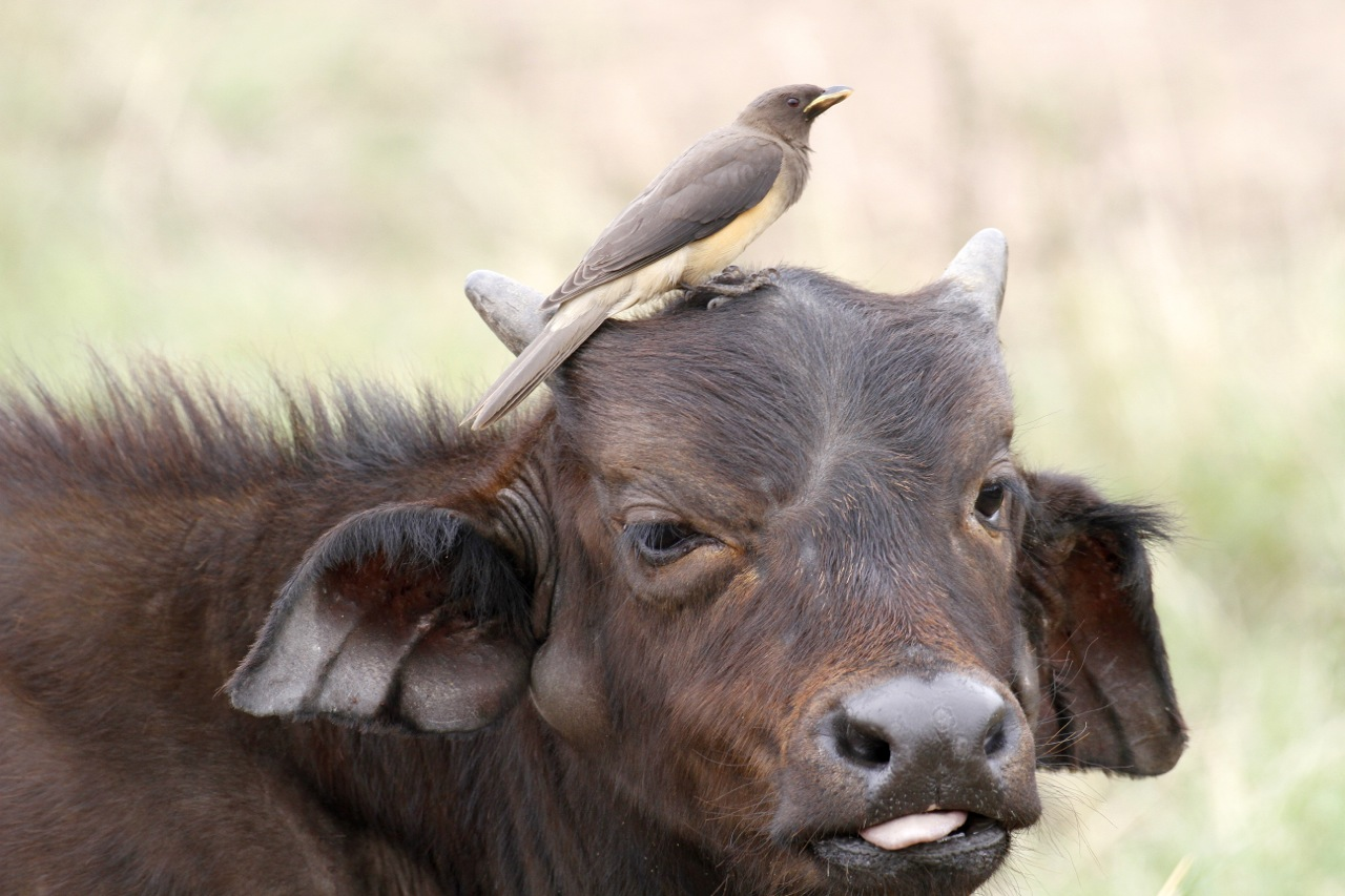 African Buffalo calf and ox-pecker.