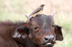 African Buffalo calf and ox-pecker.