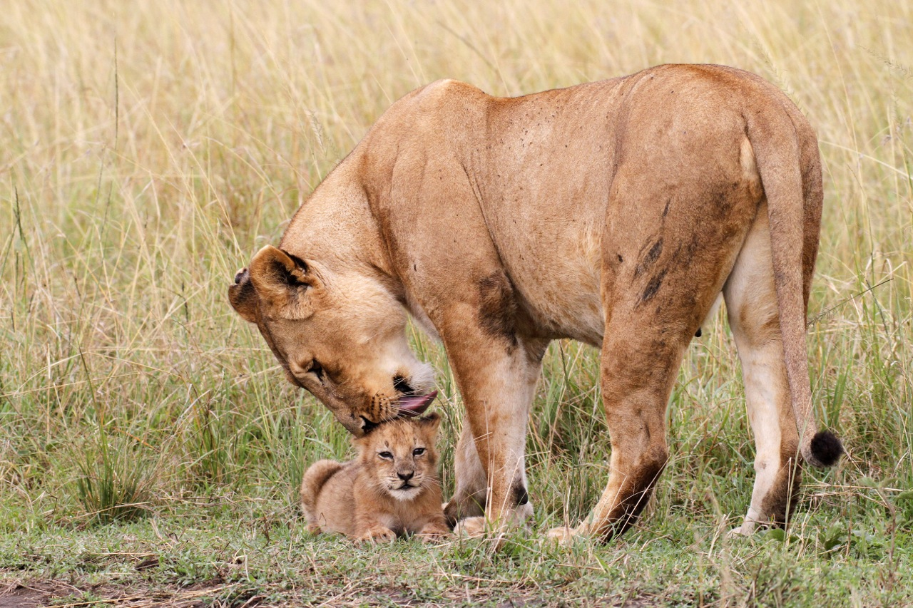 Lioness and Cub.