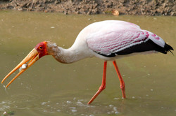 Yellowbilled Stork with catch.