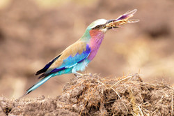 Lilacbreasted roller and locust.
