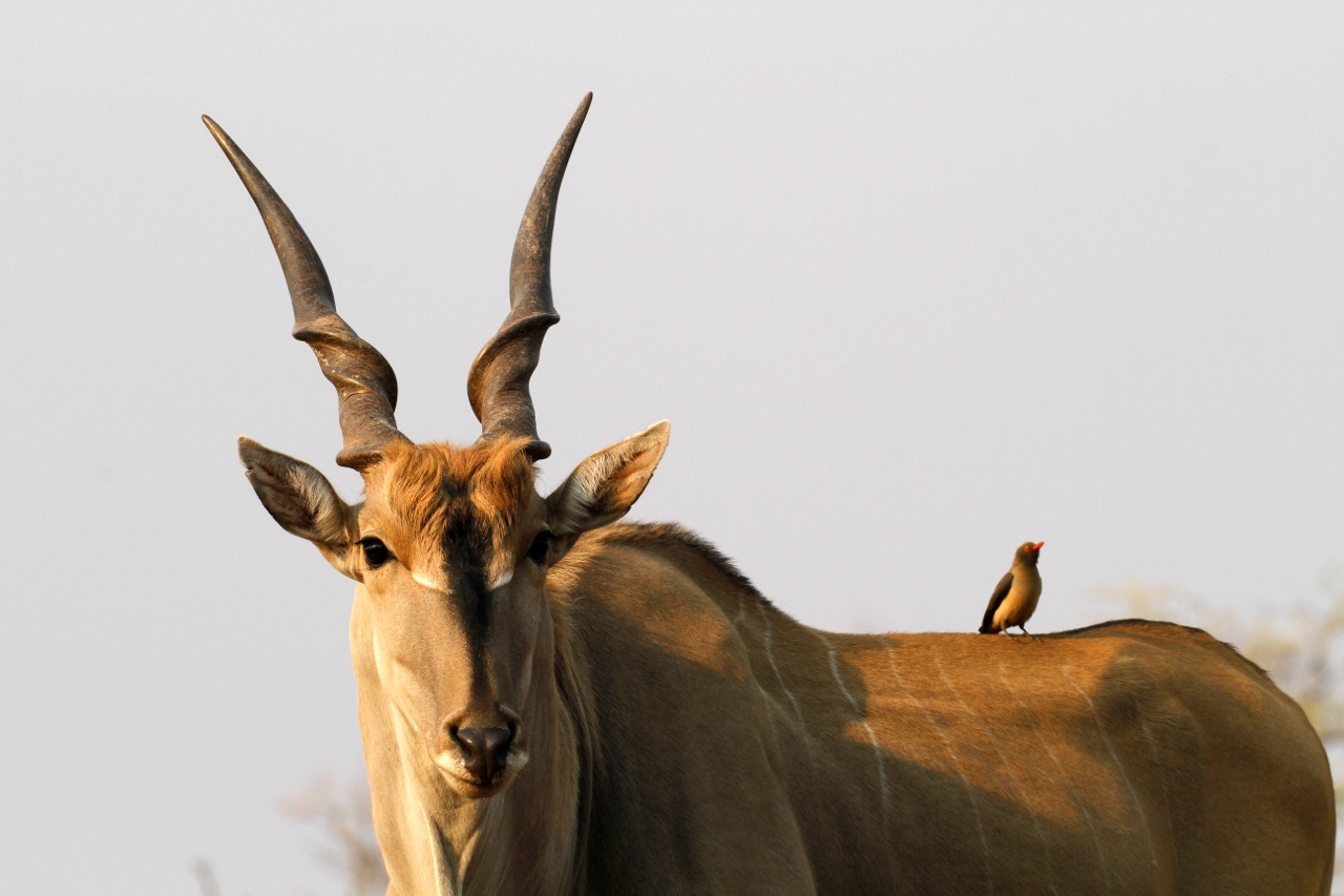 Eland and Red-Billed Oxpecker.
