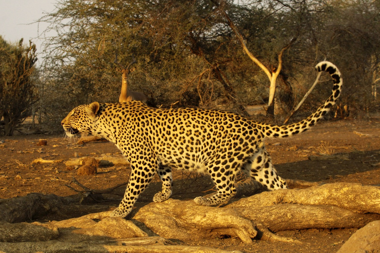 Male Leopard and Impala.