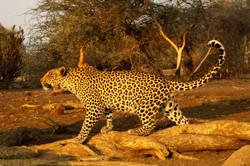 Male Leopard and Impala.