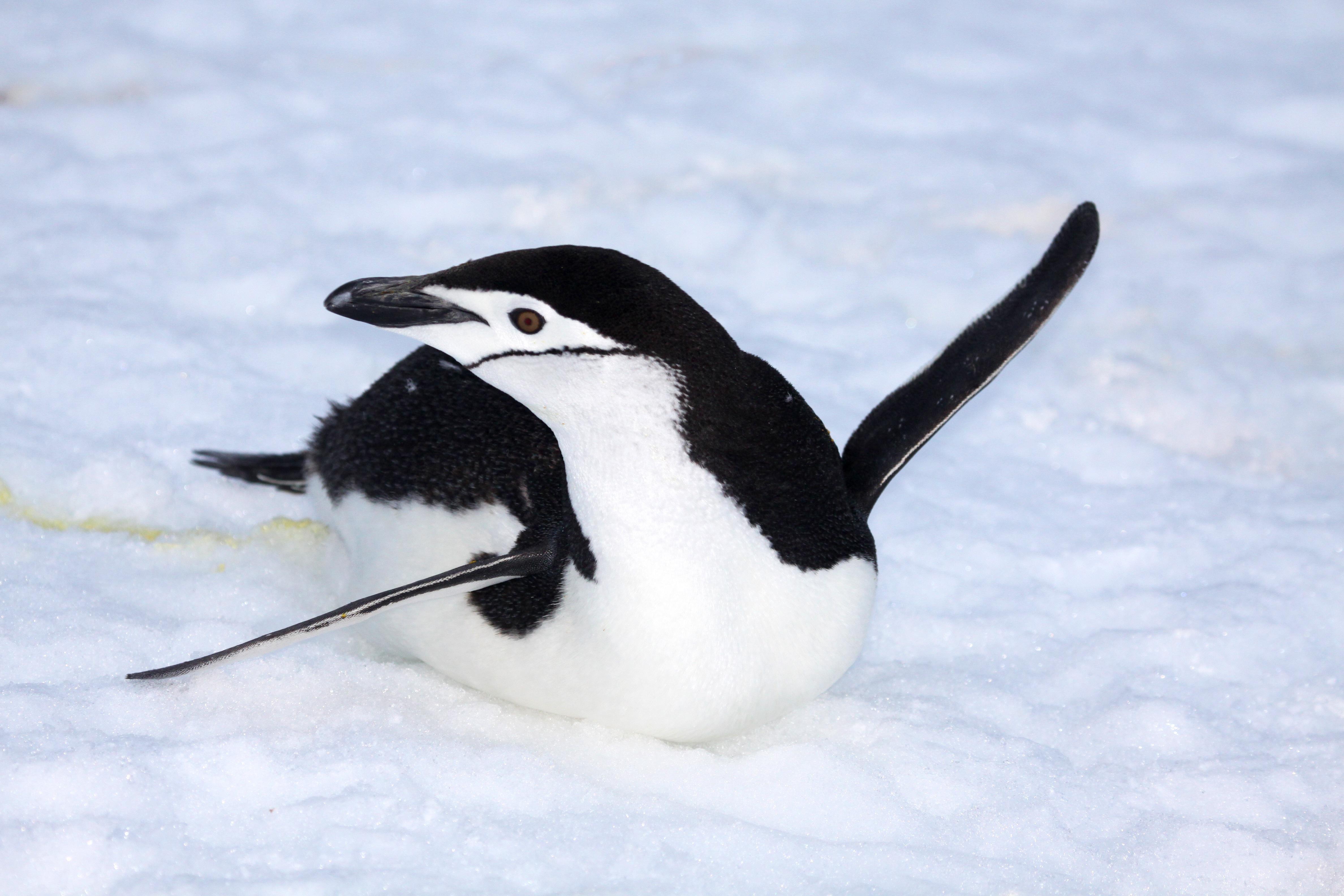 Chinstrap Penguin.