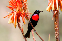 Hunter's Sunbird Male.
