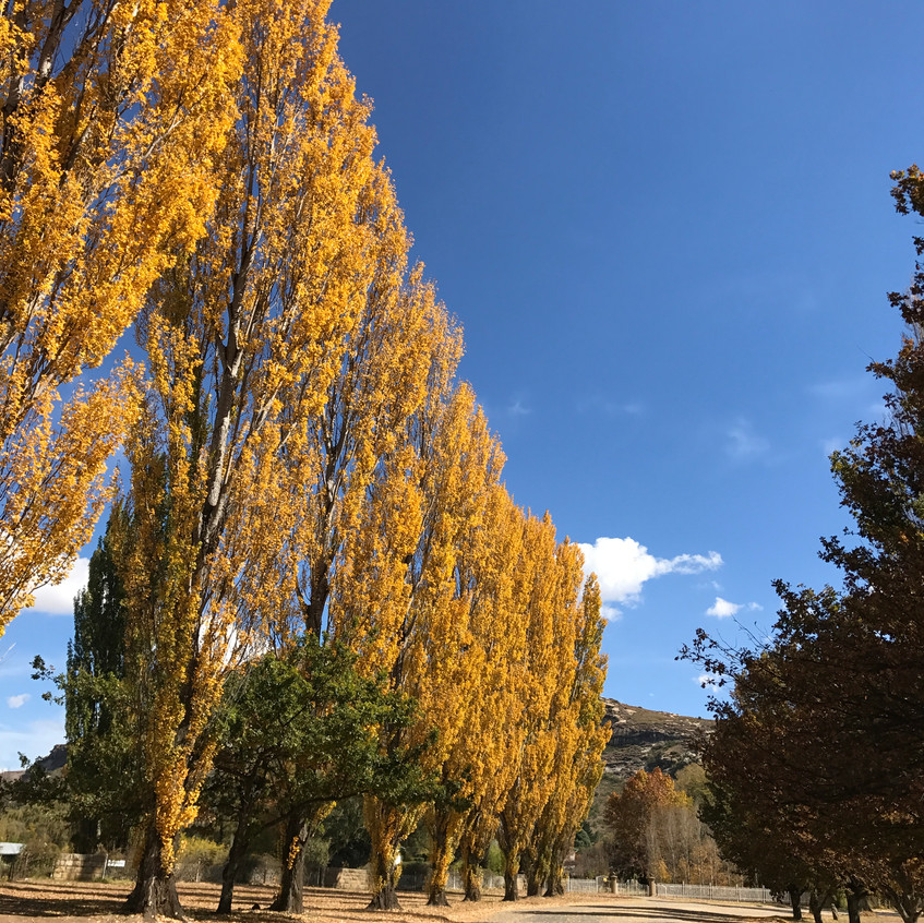 Poplars in the Free State