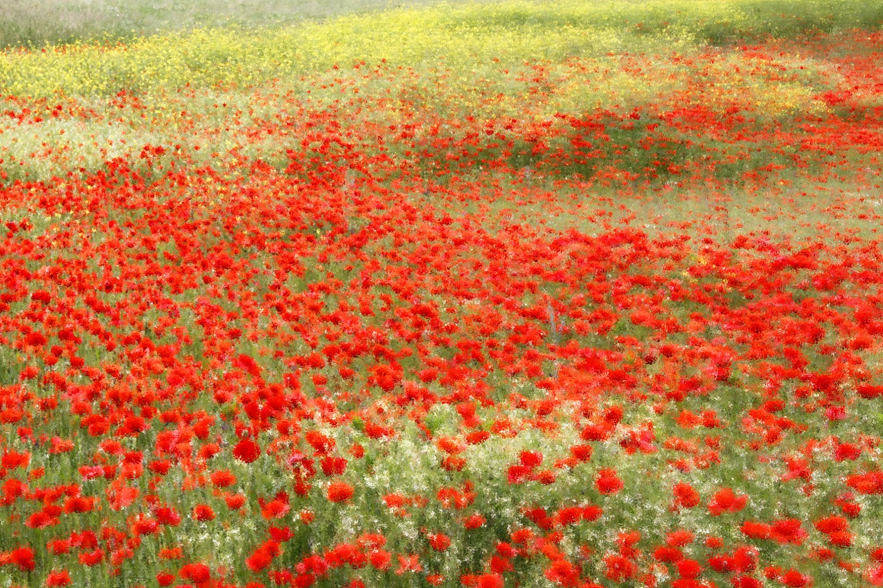 Poppy field impression.
