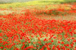 Poppy field impression.