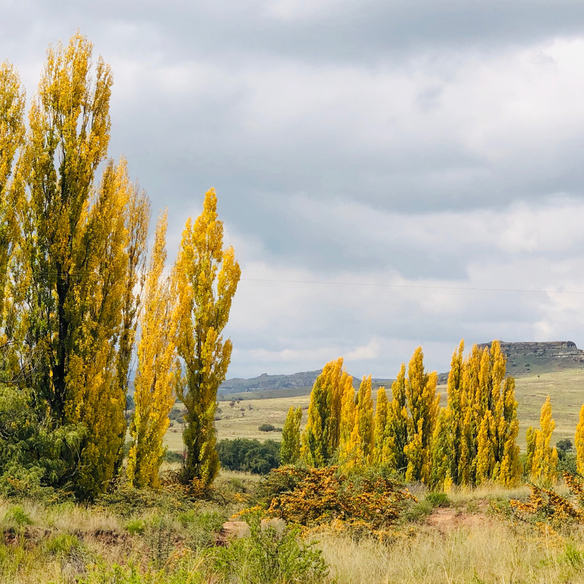 scenic golden poplars