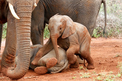 African Elephant calf at play.
