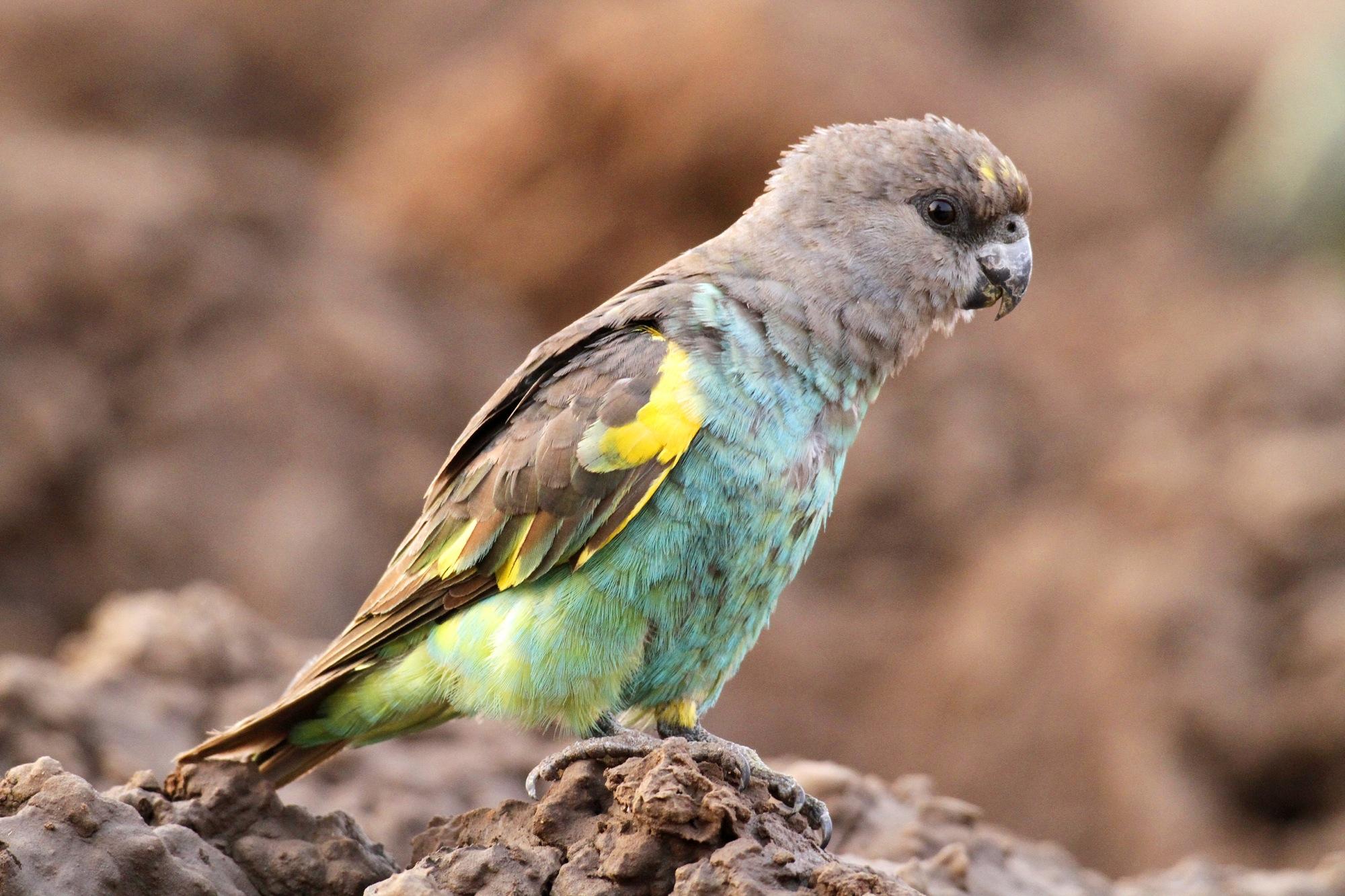 Meyer's (Brown) Parrot.