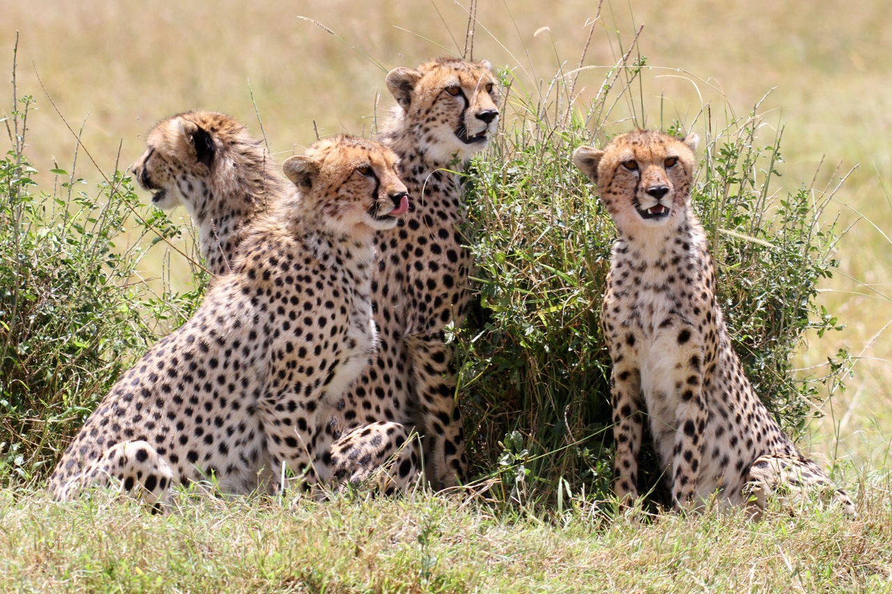Cheetah Sub-adults.