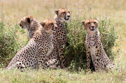 Cheetah Sub-adults.