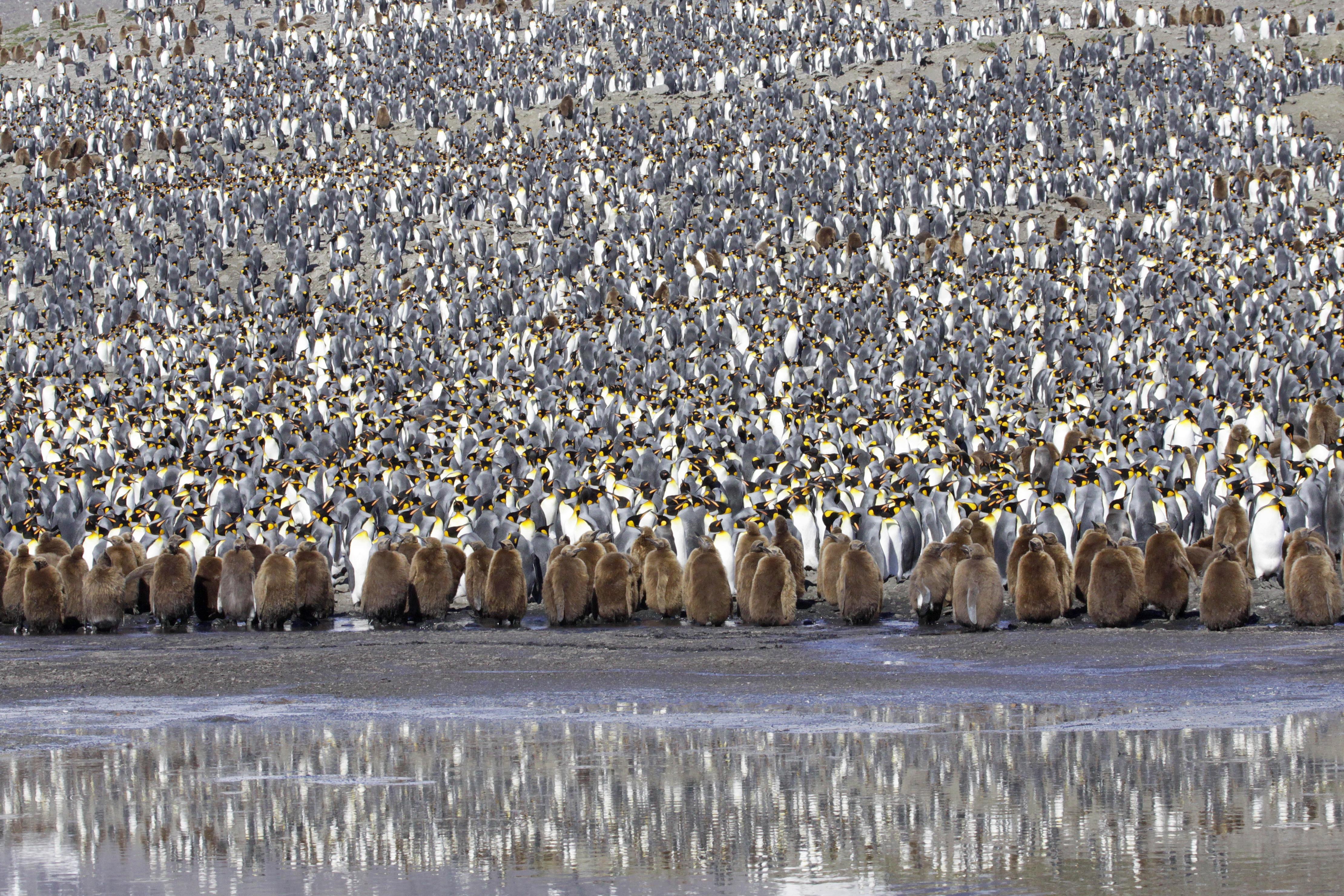 King Penguin Rookery .