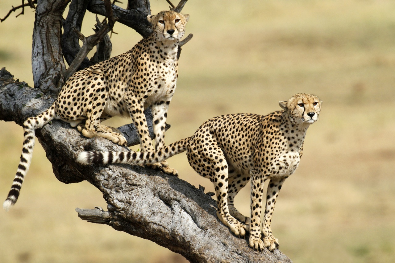 Cheetah lookout.