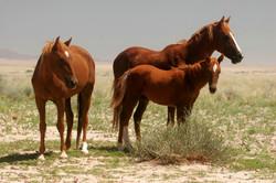 Desert Feral Horses, Namibia.