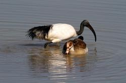 Sacred Ibis and Egyptian Goose.