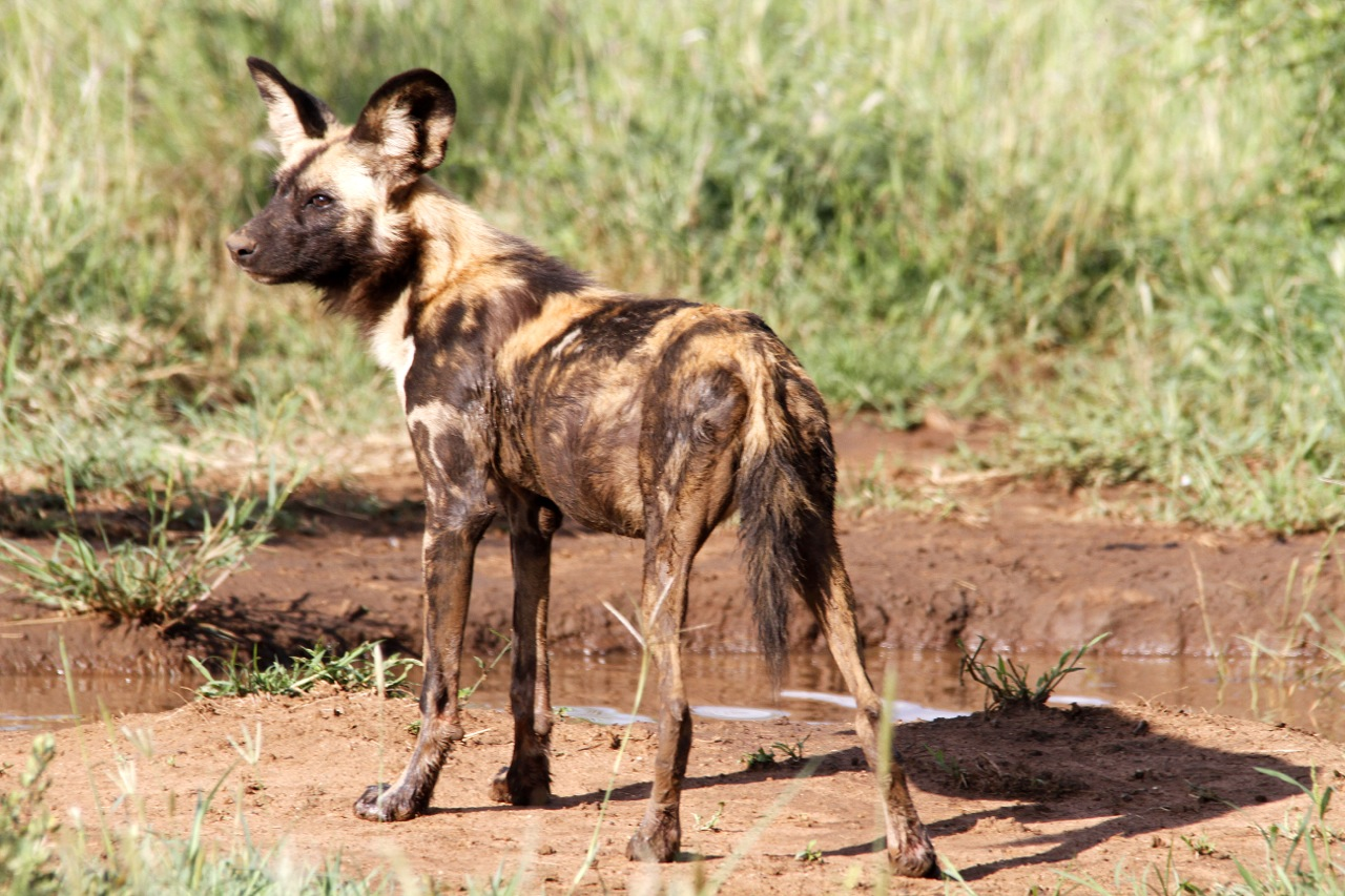 African Wild Dog observant.