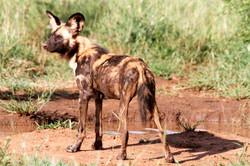 African Wild Dog observant.