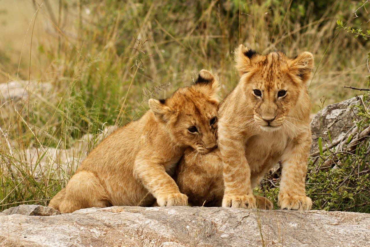 Playful Lion Cubs.