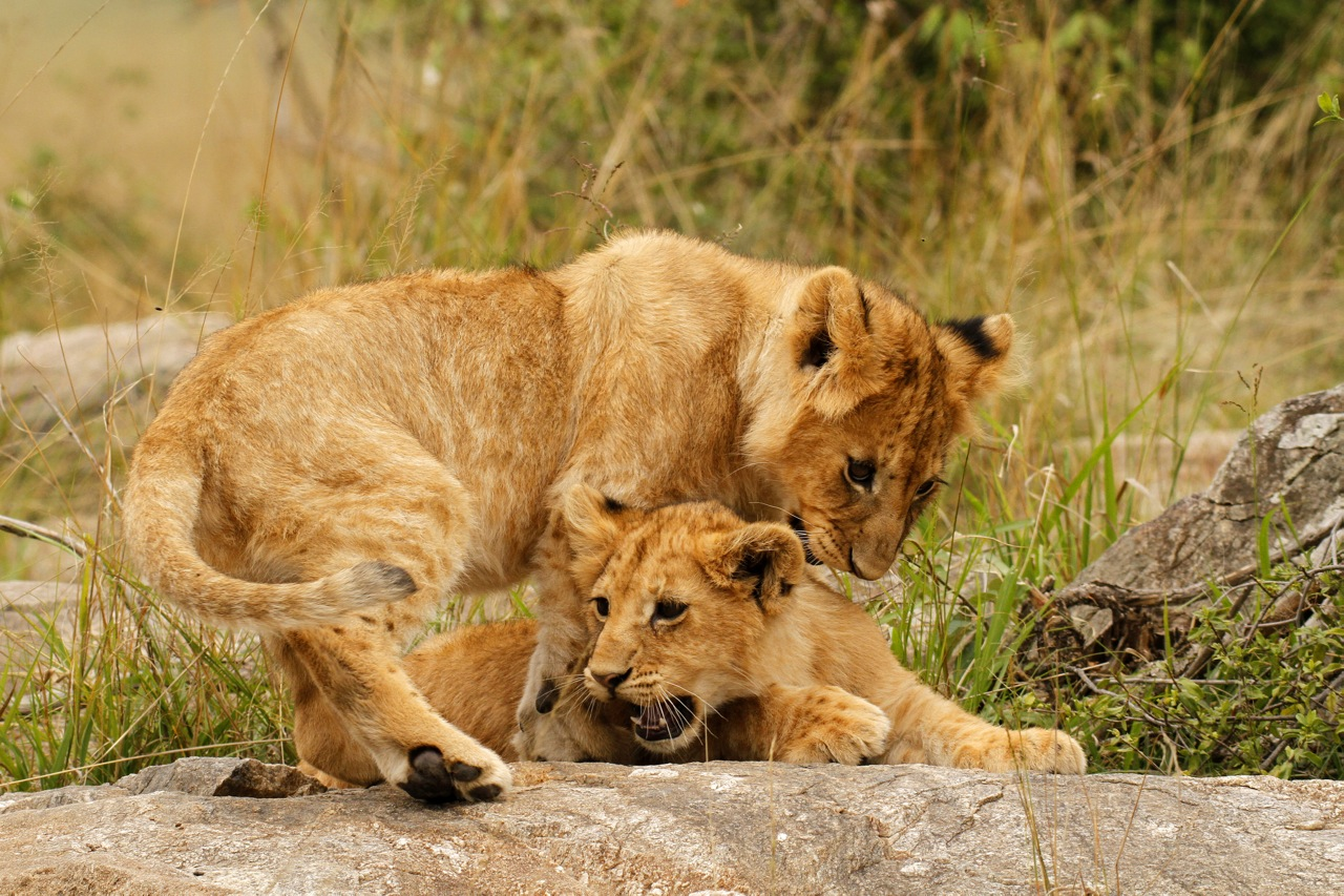 Lion cub antics.