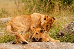 Lion cub antics.