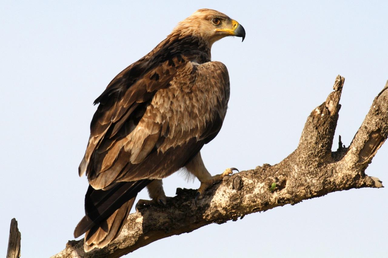Tawny Eagle.