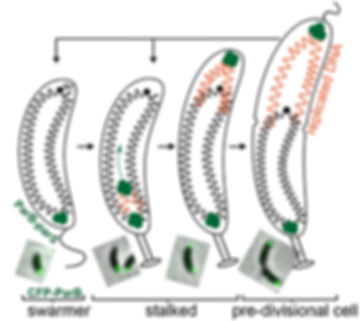 Caulobacter_cellcycle.png