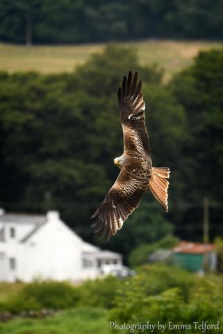 Galloway Kite