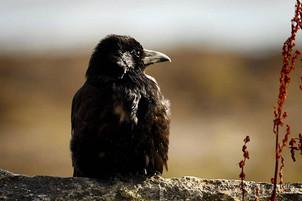 Poofy Bird