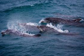 Farne Dolphins