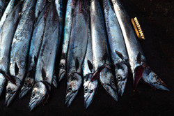 Line of fish