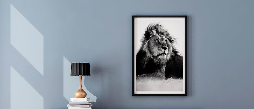 william steel photography - fine art print - african lion