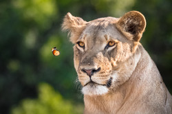 Lion and the butterfly