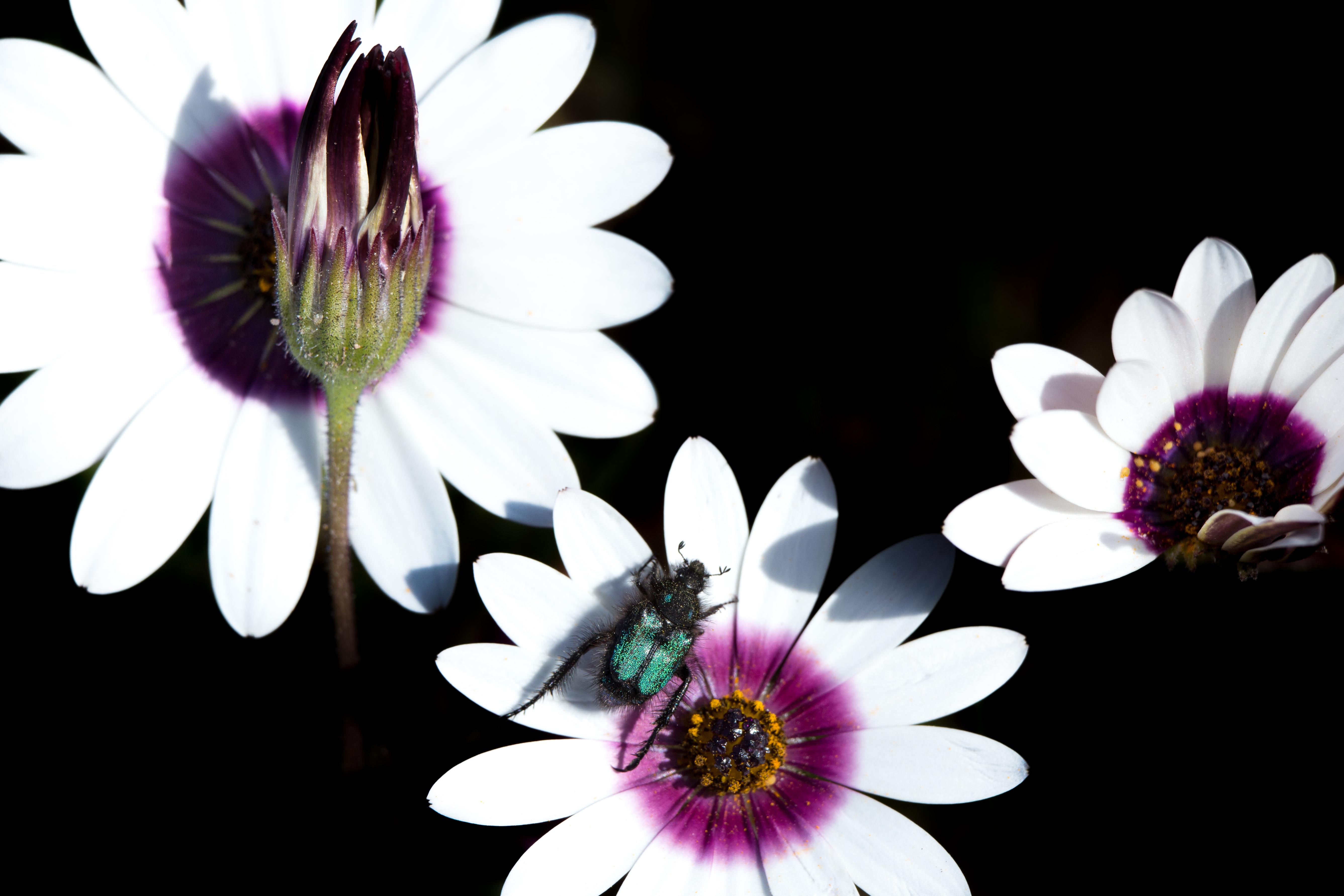 Glittering monkey beetle